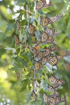 Monarch Roost SW of Kansas City
