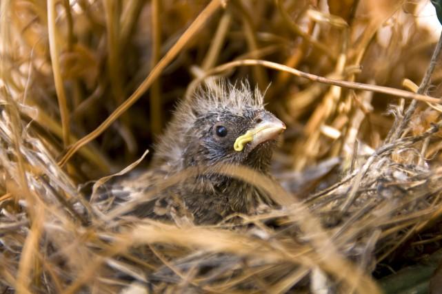 House Finch Nestling