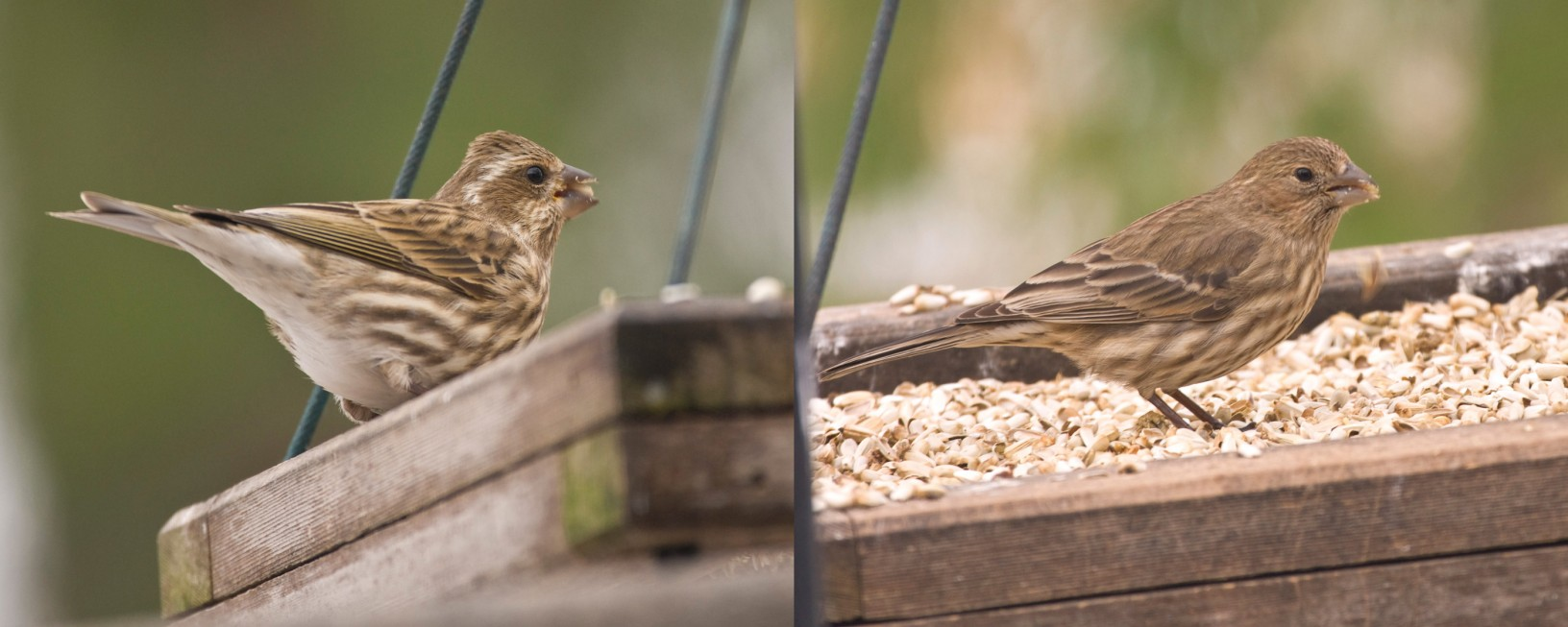 Left- female Purple Finch, Right- female House Finch
