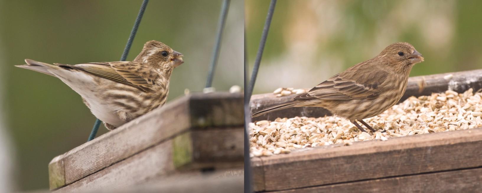 Left- female Purple Finch, Right- female House Finch