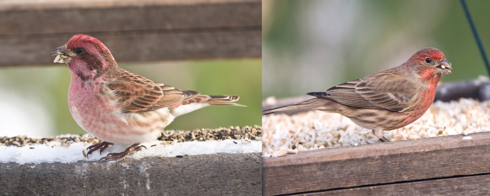 left- male Purple Finch, right- male House Finch